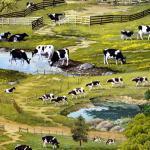 Patchworkstoff Quilt Stoff Life On Farm Kühe Weide